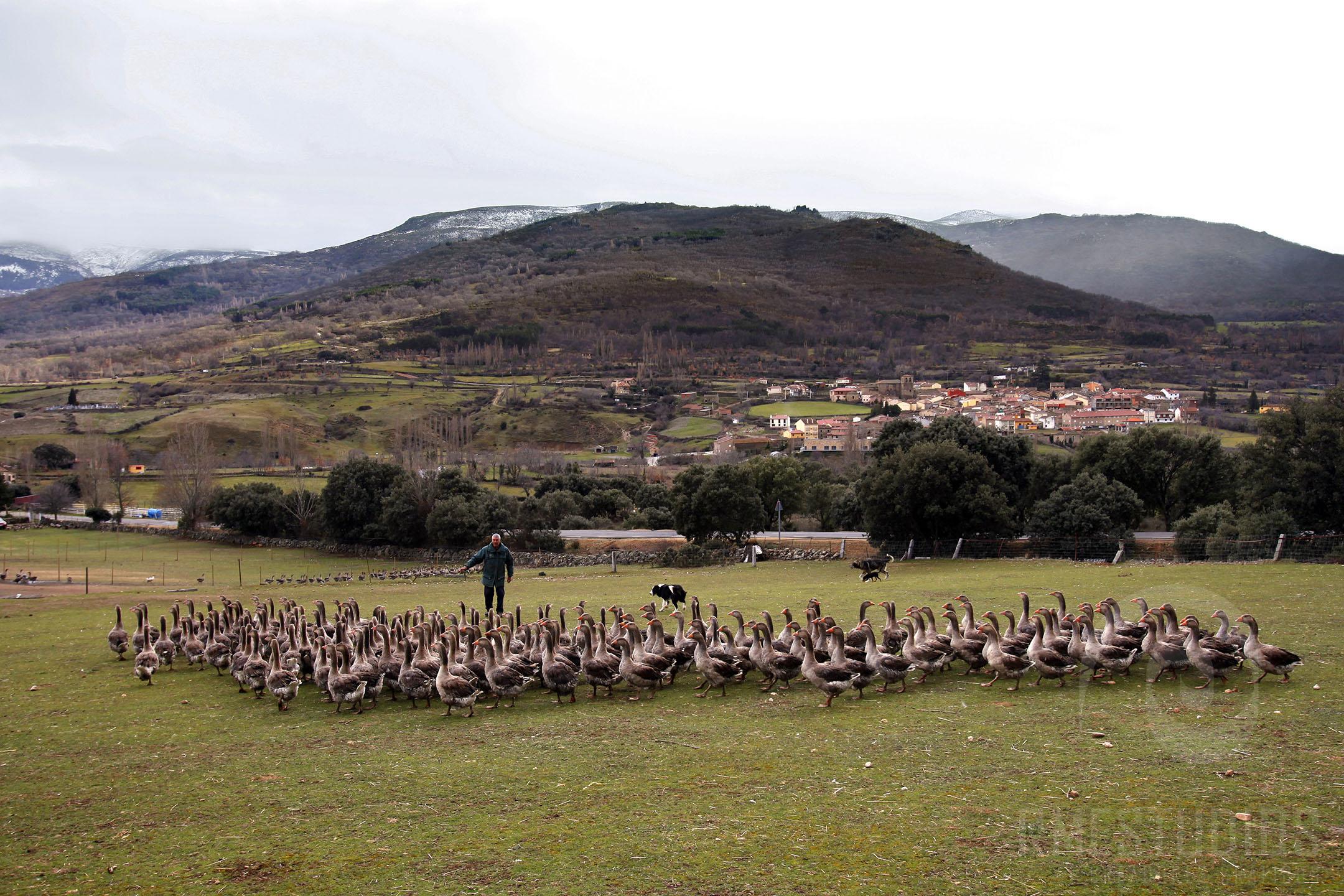 Pastor de Gansos en Villafranca de la Sierra